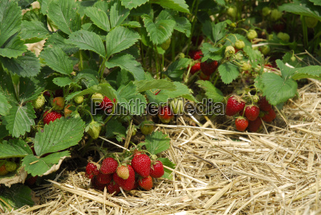 strawberry, country - 1353031