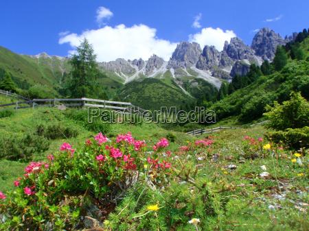 flor flores planta tirol paisaje naturaleza