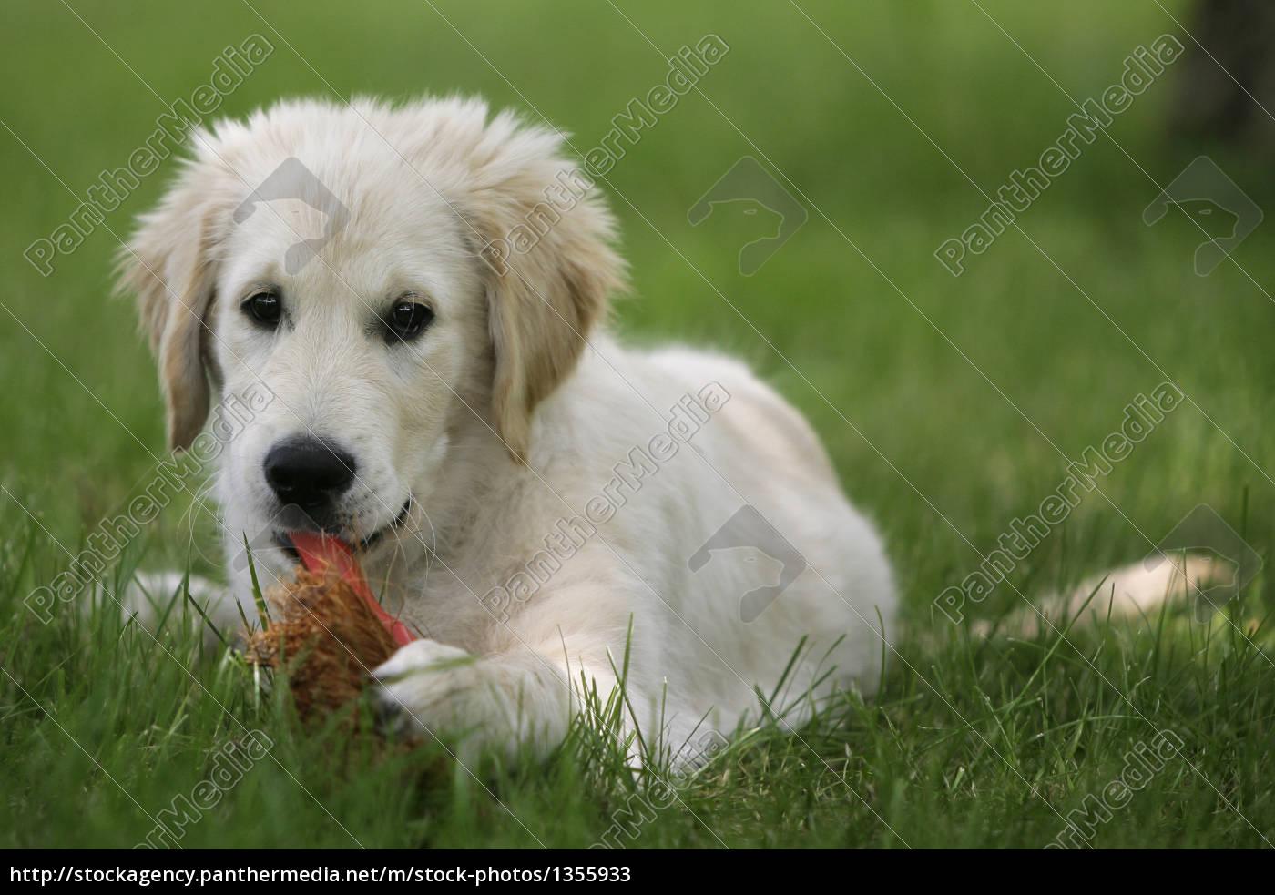 Golden Retriever Puppy Stock Photo 1355933 Panthermedia Stock Agency