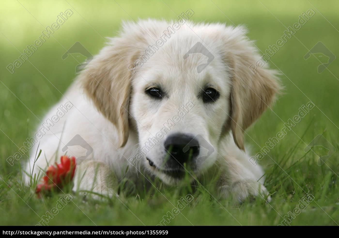 golden, retriever, puppy - 1355959