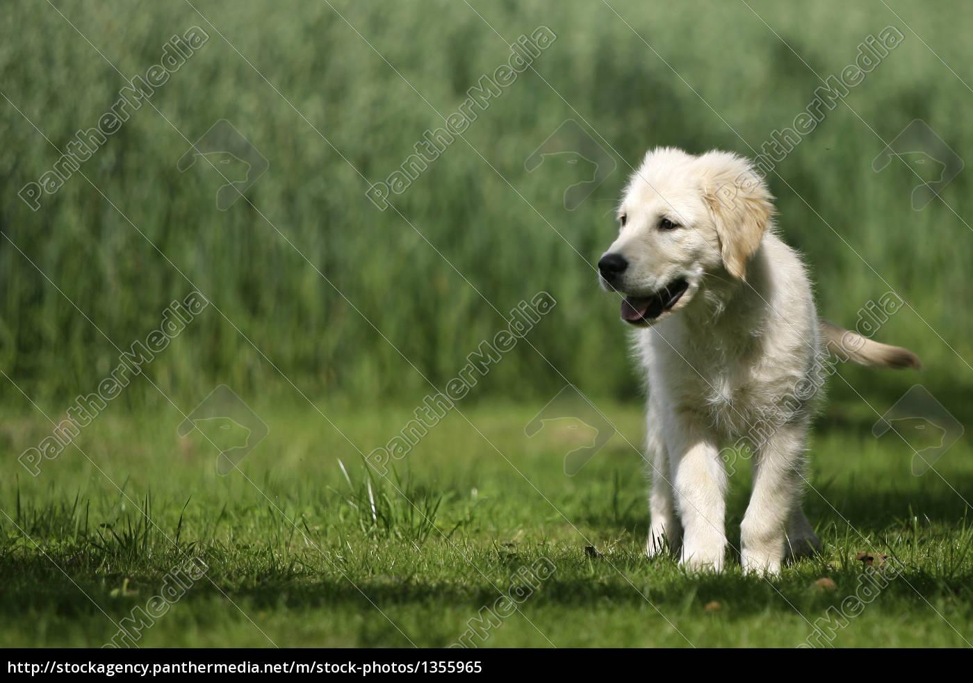 golden, retriever, puppy - 1355965