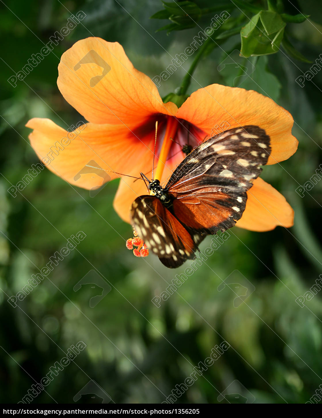 tiger, -, passion, butterfly - 1356205