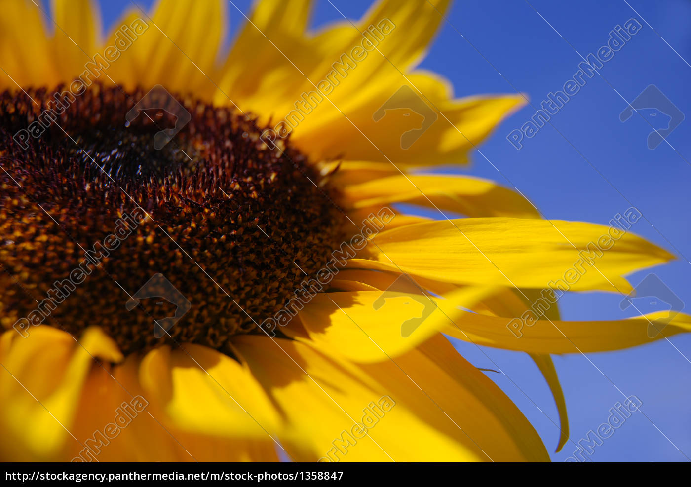 sunflower - 1358847