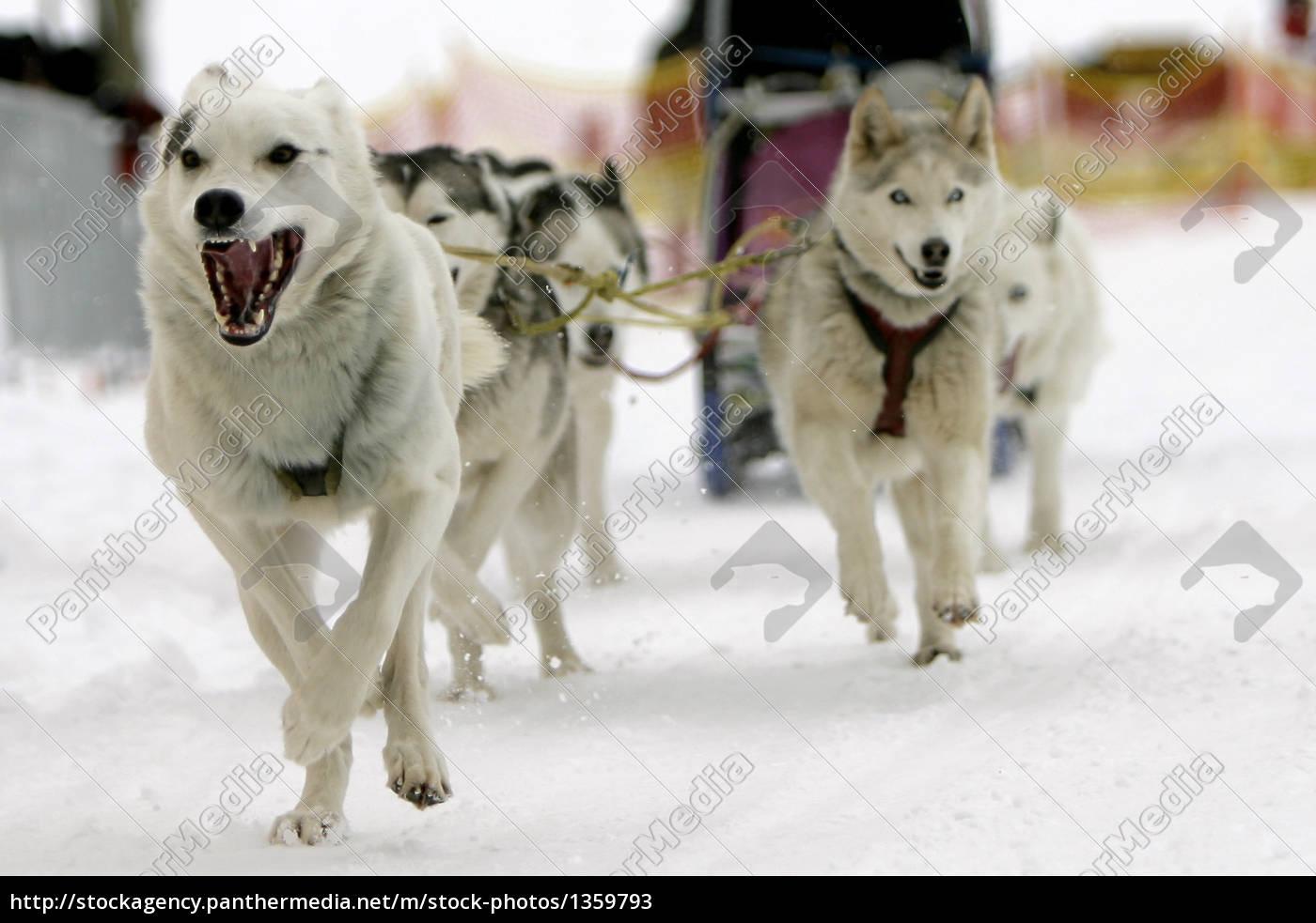 siberian, husky, team - 1359793