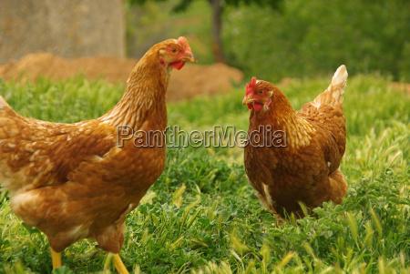 chicken, 07 - 1362553