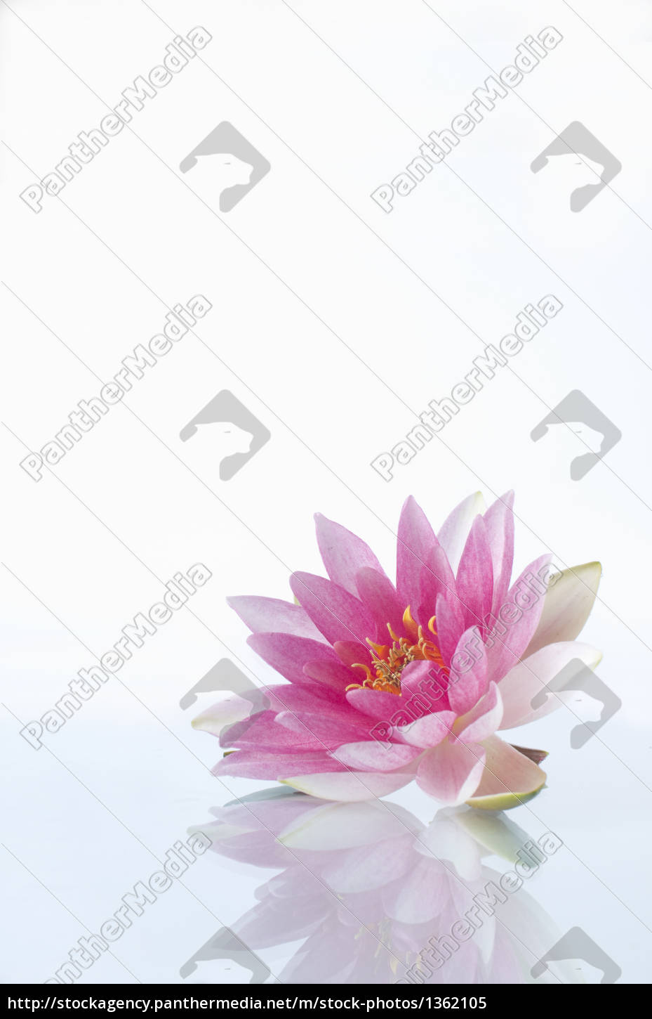 pink, water, lily - 1362105