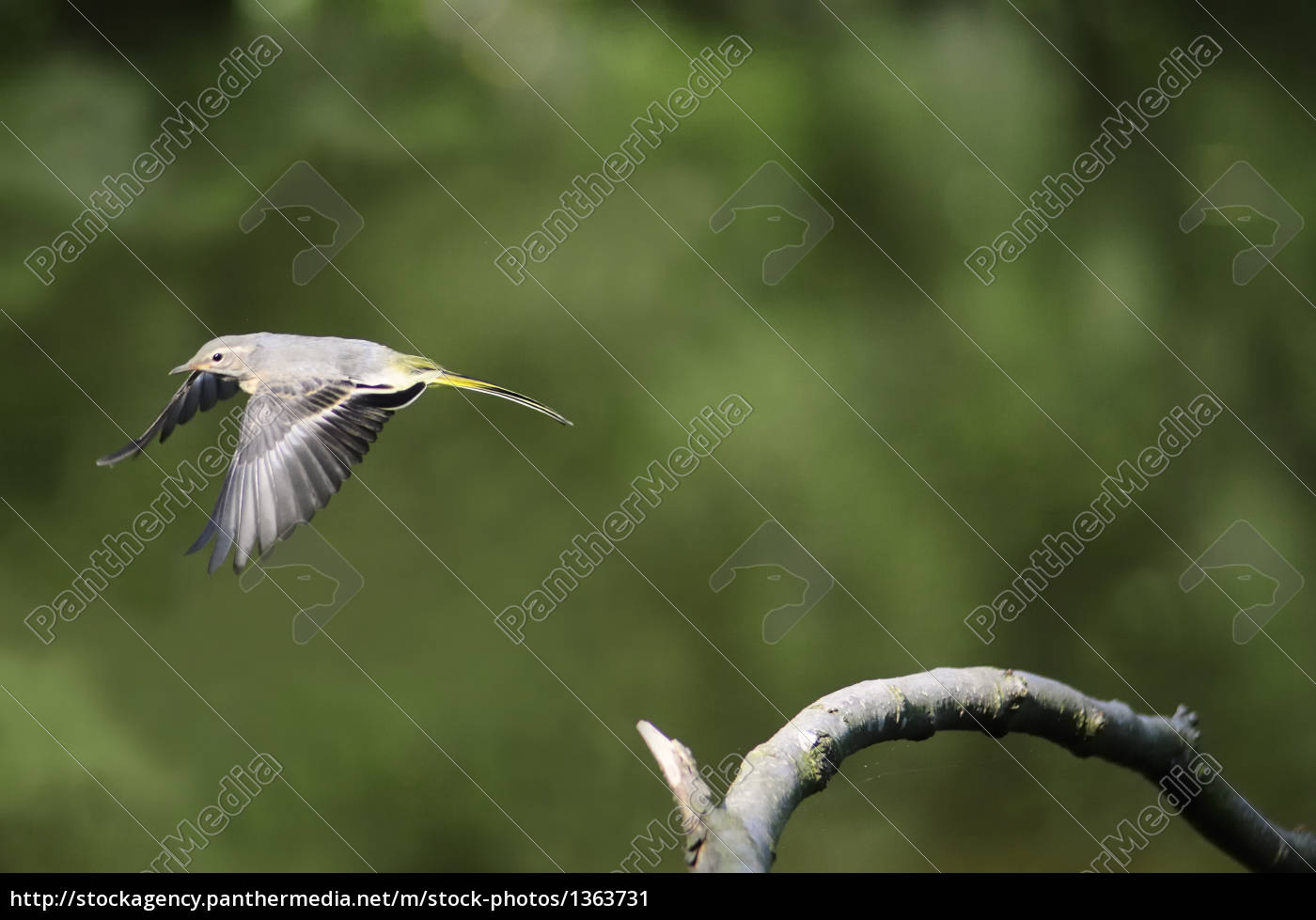 young, mountain, wagtail, in, flight - 1363731