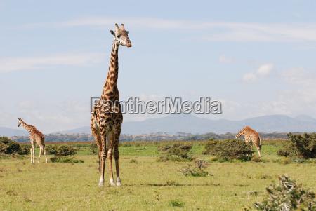 giraffes, in, the, african, savannah - 1365261