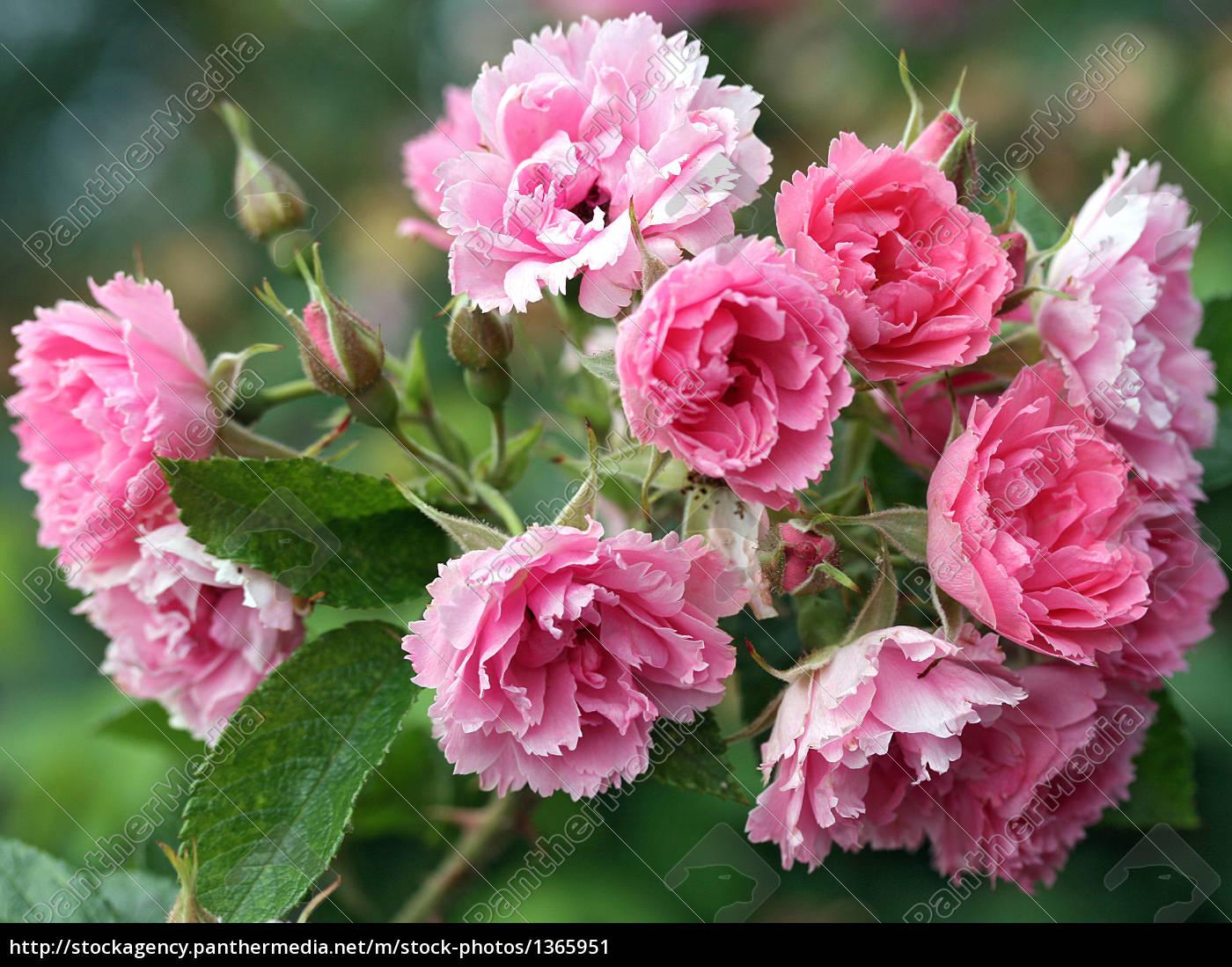pink, grootendorst - 1365951
