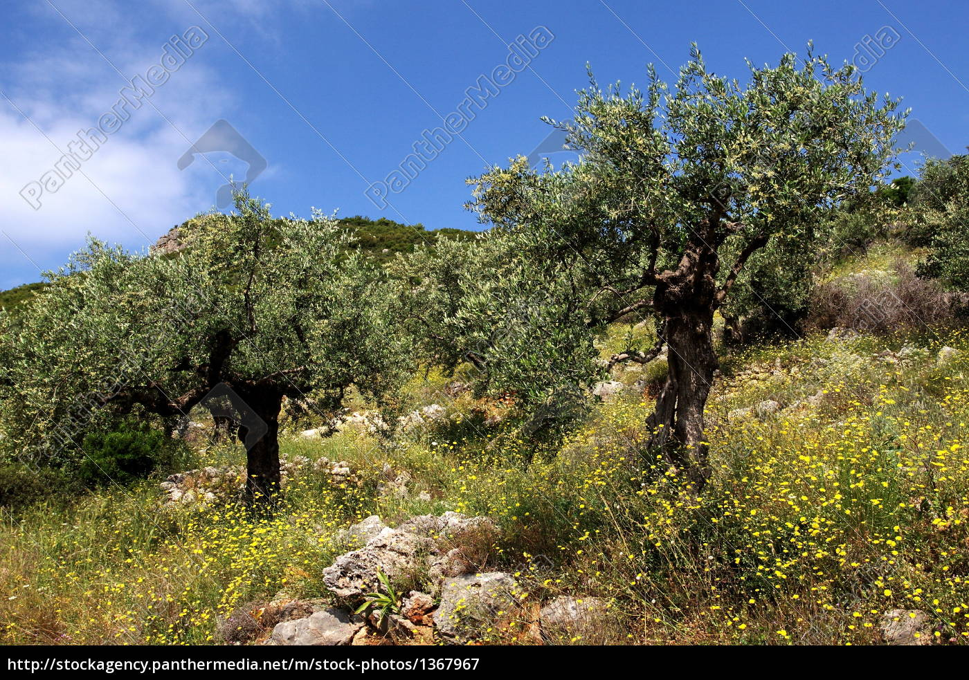 olive, trees, in, kalamata - 1367967