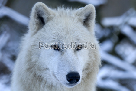 polar, wolf, portrait - 1367999