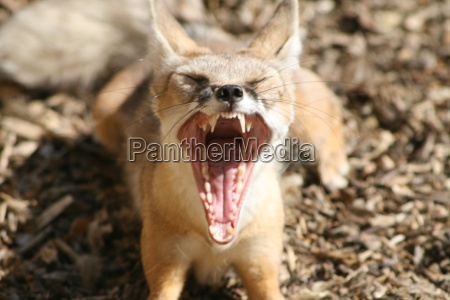 tired, fox - 1371233
