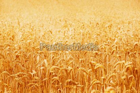 wheat, field - 1371693