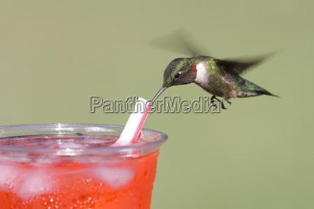 thirsty, , ruby-throated, hummingbird - 1373975