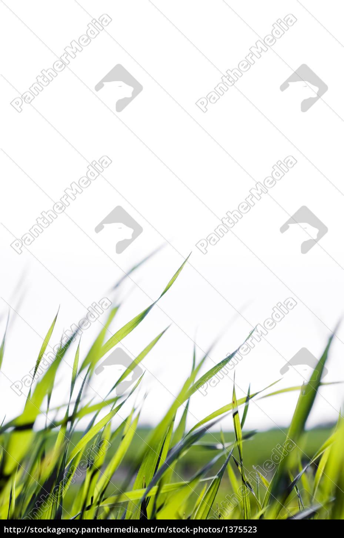 grass, blades - 1375523