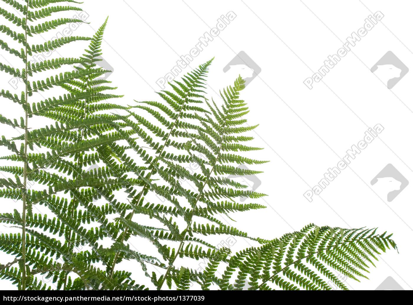 border, of, ferns - 1377039