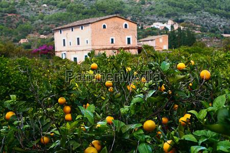 orange grove in majorca