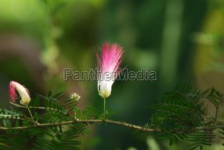 flowering of powder brush tree