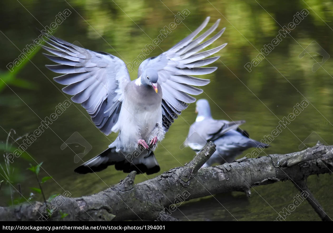 dove, approaching, a, branch - 1394001