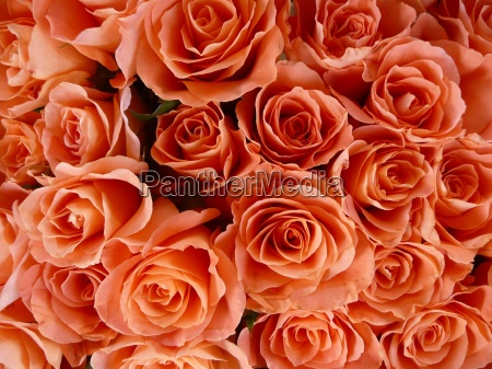salmon colored roses