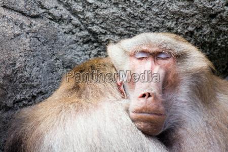 baboon, sleeping - 1405591