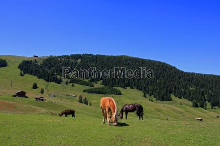 horses on the seiser alm