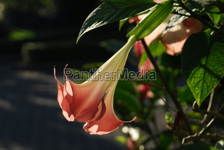 angels trumpet in backlight