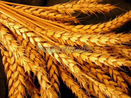 agriculture farming grain wheat harvest cereal
