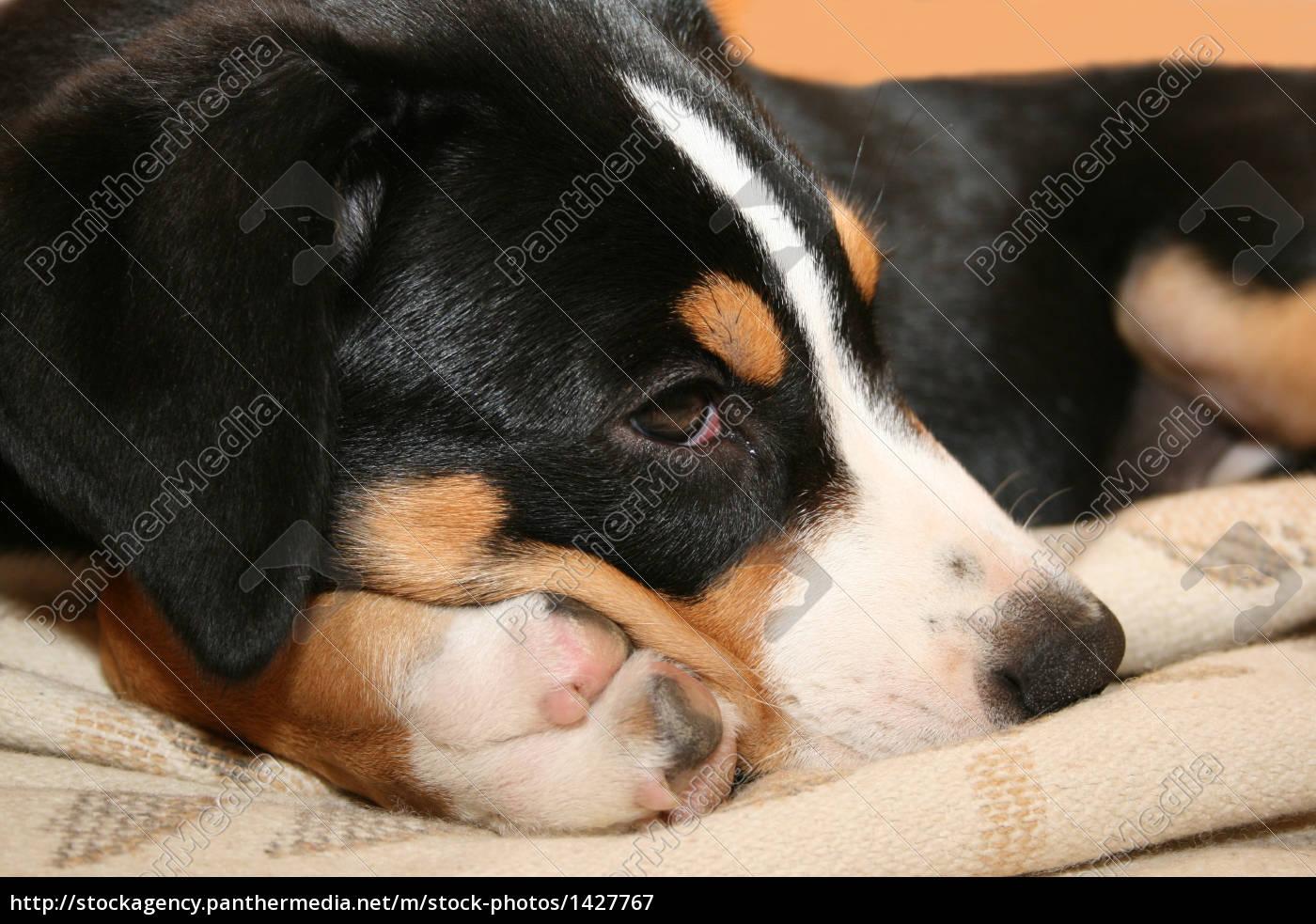 swiss, mountain, dog, puppy - 1427767