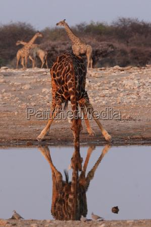 drinking giraffe in etosha national park