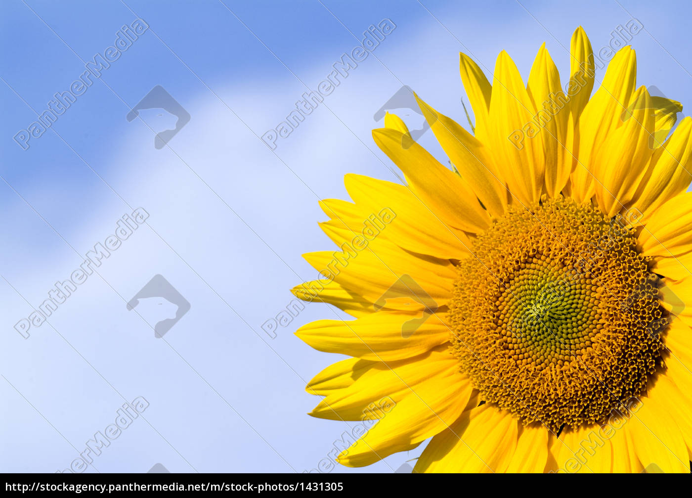sunflower - 1431305