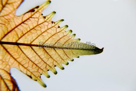 wine leaf vitis vinifera