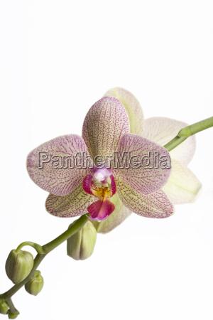 detail einer orchidee auf weissem hintergrund