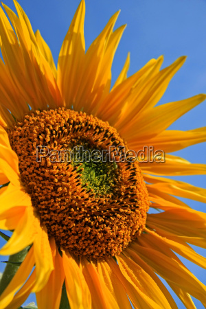 sonnnenblumenbluete