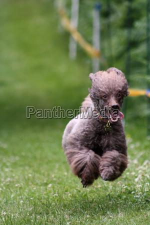poodle in flight