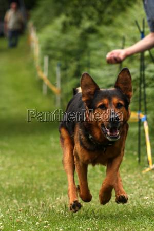 schaeferhundmix the dog races