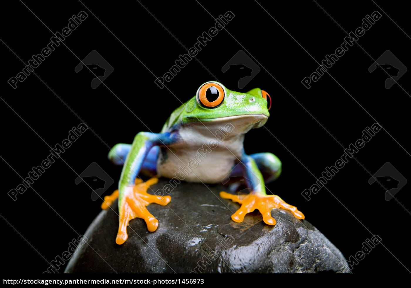 frog, on, a, rock, isolated, black - 1456973