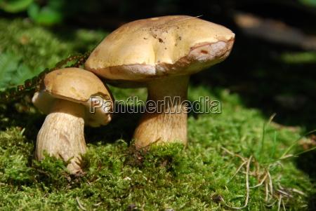 gallenröhrling, (tylopilus, felleus) - 1456071