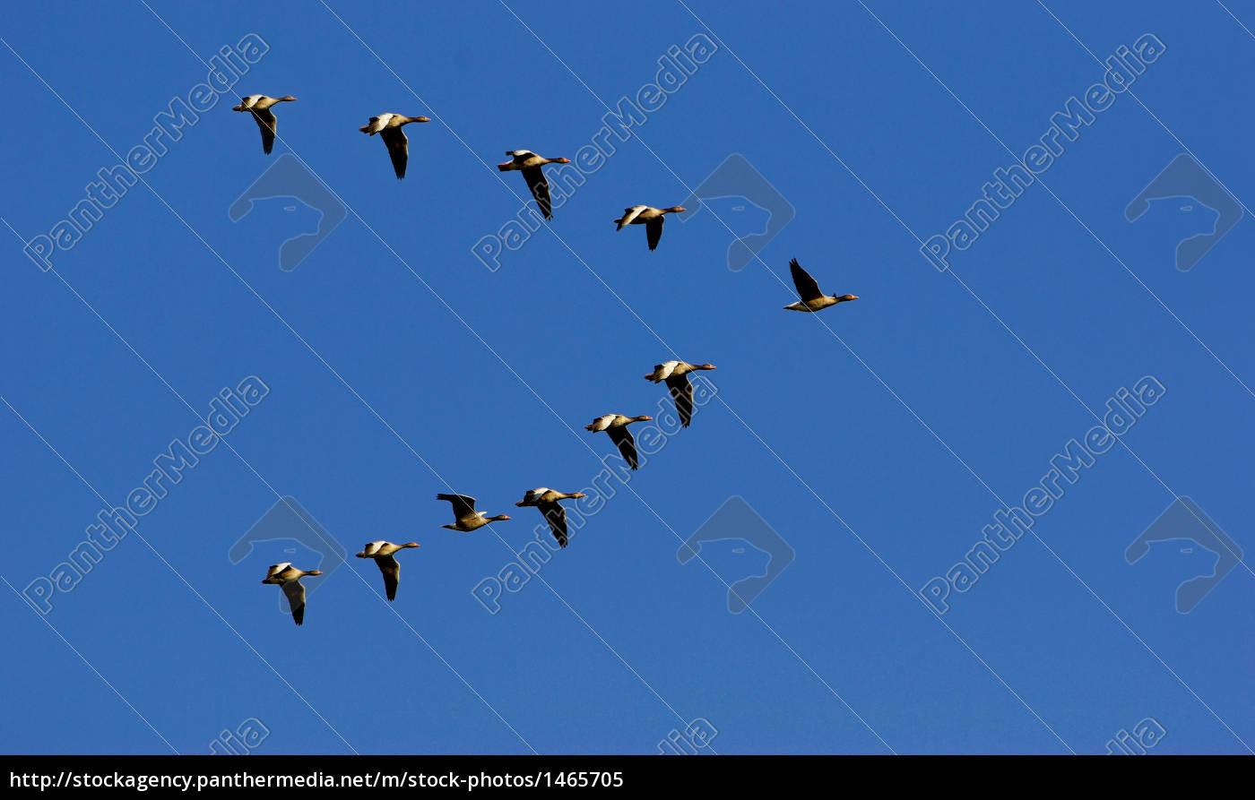 grey, goose - 1465705