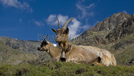 goat couple on the mountain meadow