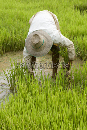 working, on, rice, field, in, asia - 1474587