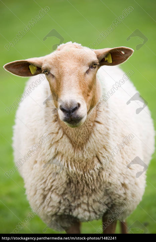 sheep, closeup, on, green, meadow - 1482241