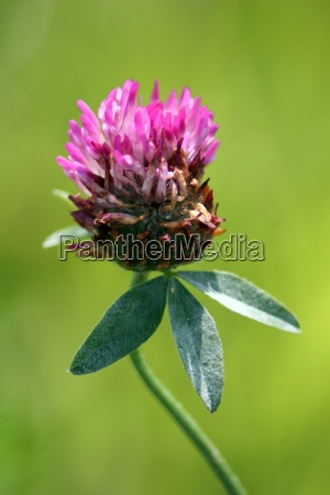 red meadow clover