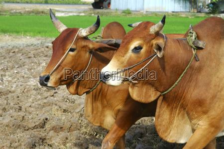 humped oxen sidecar vietnam