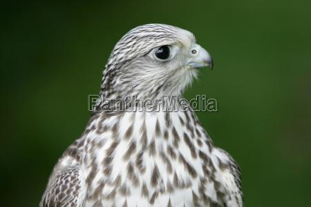 gerlanner hawk