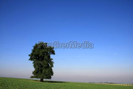 stately old oak