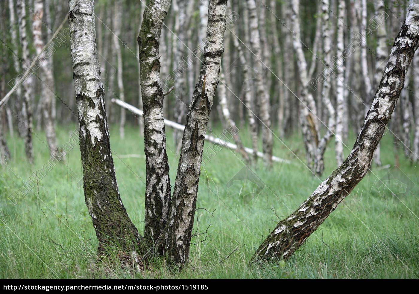 birches - 1519185