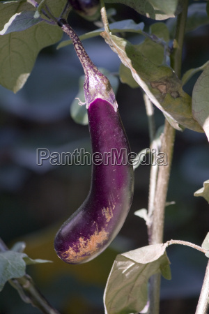 aubergine in the garden