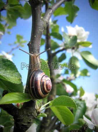 snail on the apple tree