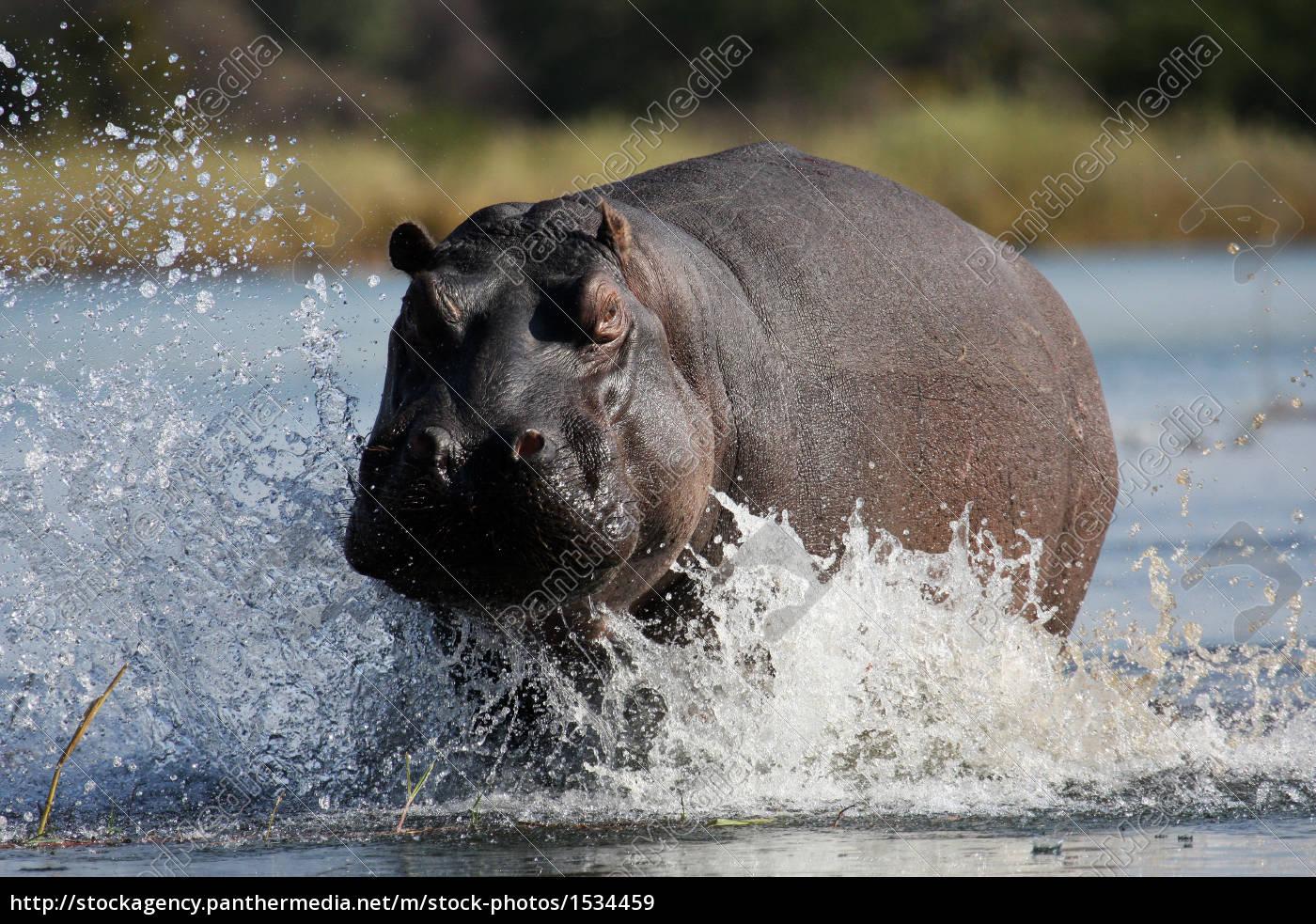 hippopotamus - 1534459